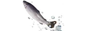 A fish jumping out of the water. (Hemera/Thinkstock)
