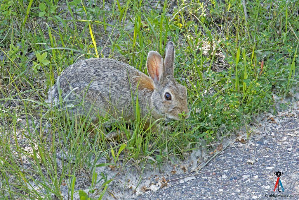 Rabbit preparing to cross the road. (Dr. Noorali Bharwani)