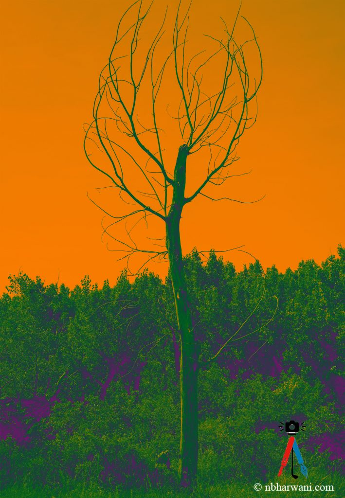 A lonely tree. (Dr. Noorali Bharwani)