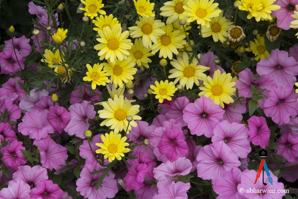 Summer Flowers (Dr. Noorali Bharwani)