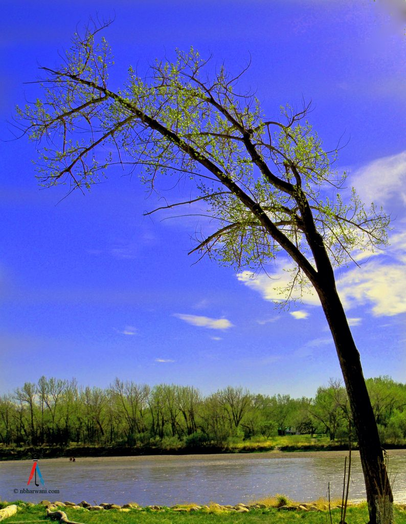 A lonely tree at Police Point Park, Medicine Hat, Alberta. (Dr. Noorali Bharwani)