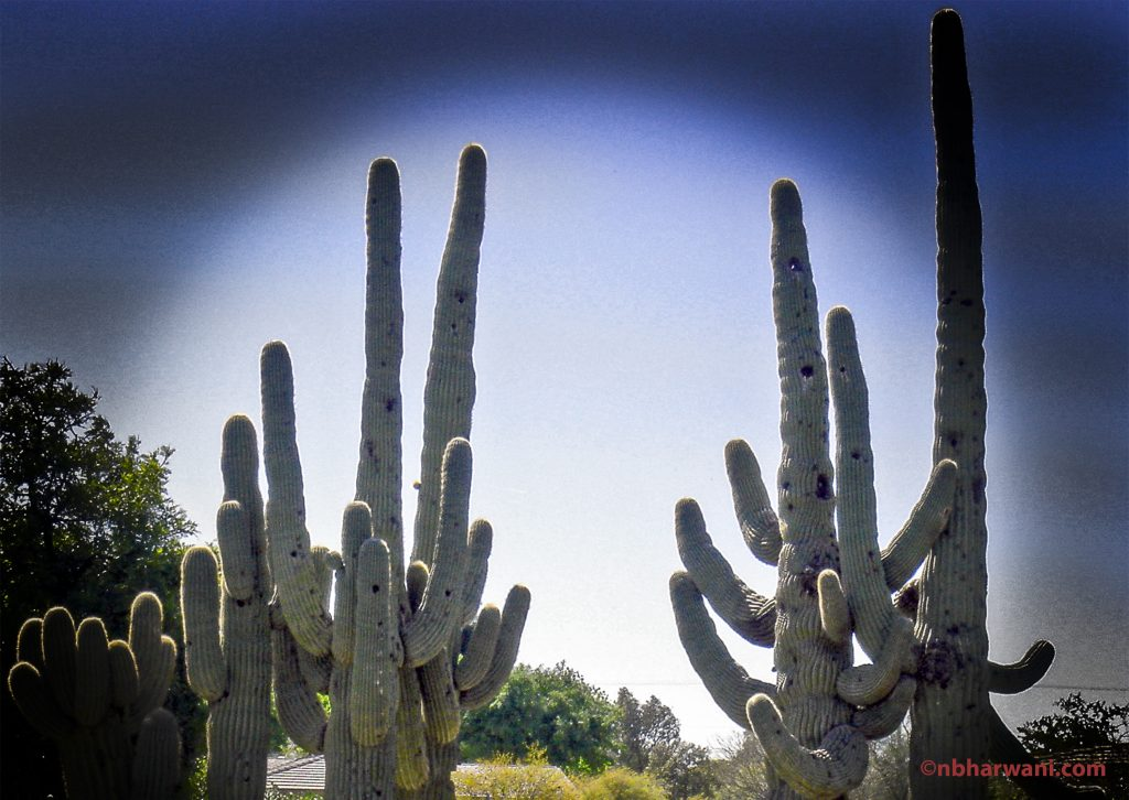 Cacti on a golf course in Scottsdale, Arizona. (Dr. Noorali Bharwani)