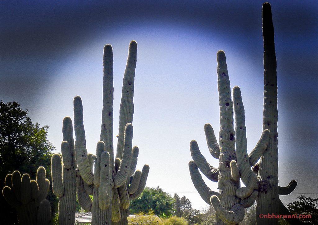 Cacti on a golf course in Scottsdale, Arizona. (Dr. Noorali Bharwani)