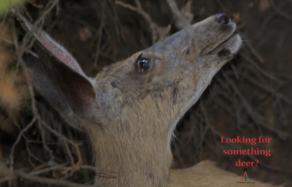 Looking for something deer? (Dr. Noorali Bharwani)