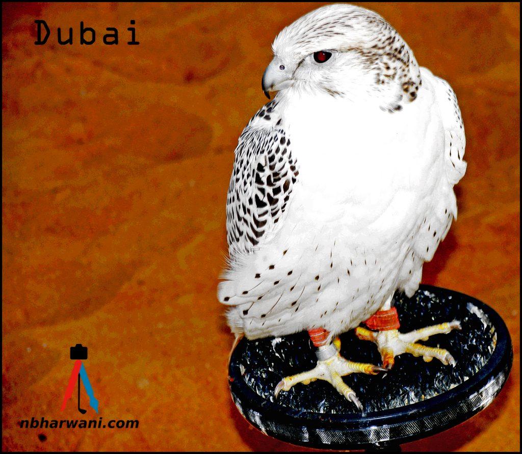 An owl in the Dubai desert. (Dr. Noorali Bharwani)