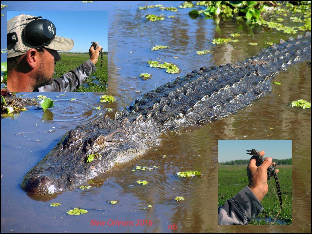 Alligators in New Orleans. (Dr. Noorali Bharwani)
